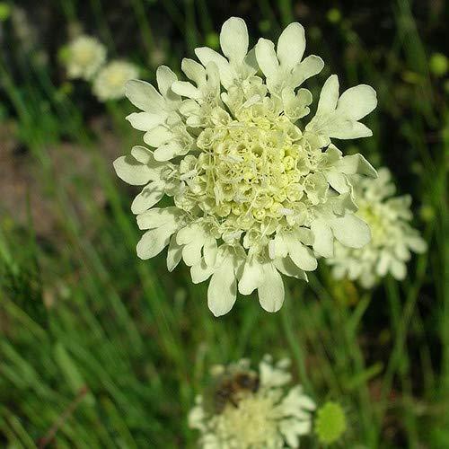 Plant World Seeds - Scabiosa Columbaria Ochroleuca Seeds