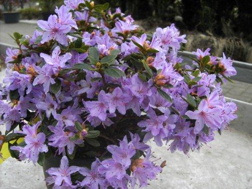 rhododendron-impeditum-moerheim-in-a-2-l-pot-height-approx-20-25cm