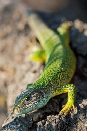 Green Lizard Sunning on a Rock Reptile Journal: 150 Page Lined Notebook/Diary -