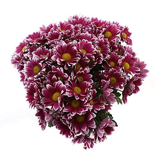 Choice of Green - 1 bouquet de chrysanthèmes - 10 tiges - Hauteur ↕ 60 cm - Qualité hollandaise - Frais du cultivateur