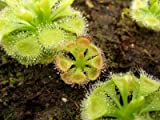 Drosera Burmanii 10 Samen,Fleischfressende Pflanze , Sonnentau
