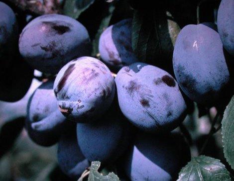 Pflaumenbaum, Hanita, Prunus domestica, Obstbaum winterhart, Pflaume blau, im Topf, 120 - 150