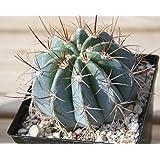 JAGREX melocactus concinnus cactus live plant