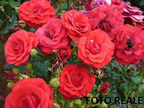 Pianta di Rosa a CESPUGLIO Stromboli Polyanta (vera) vaso quadro cm 22 FOTO REALE AMDGarden