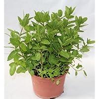 Hierbabuena - Planta Viva - Planta Aromática