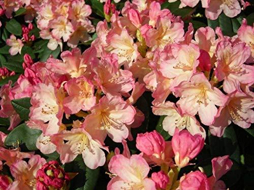 FERRY Bio-Saatgut Nicht nur Pflanzen: Rhododendron Percy Wiseman - # 2 Container - Blüte rosa Blüten