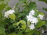 #6: Live Jasmine Flower Plant in Pot
