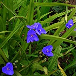 lichtnelke - Dreimasterblume ( Tradescantia x andersoniana ) Blau
