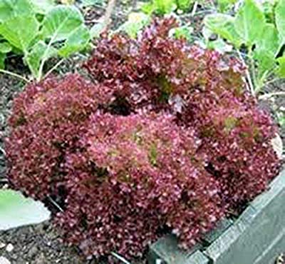 PlenTree Streugut aus Samen, Rotes Blattöl, rosa Topf aus der Brude, Orginal Nicht, 100 Samen