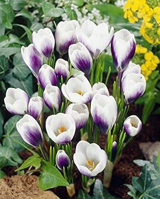 36 Botanische dreifarbige Krokusse Prins Claus, Farbmischung, Zwiebelgröße 5/7 von Amazon.de Pflanzenservice - Du und dein Garten