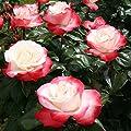 Variante Edelrose von Garten Schlüter auf Du und dein Garten