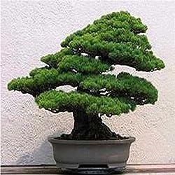 50 Teilchen / bag Bonsai Zypressen Samen Conifer sät DIY Hausgarten Es ist wahr, Platycladus Orientalis Seed