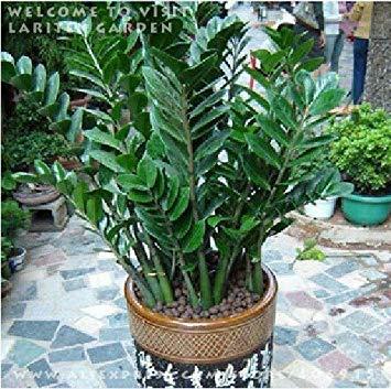 ASTONISH Sgomento SEMI: 1 ERMETICI PACK 50 semi Zamioculcas zamiifolia Money Tree * i semi come il denaro COIN PLUS dono misterioso