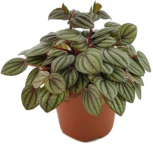 """Fangblatt - Peperomia albovittata""""Piccolo Banda"""" - tropisches Pfeffergewächs - dekorative Zierpflanze für Ihr Zuhause"""