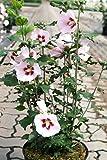 Hibiskus rosa Blüte Roseneibisch Hamabo Hibiscus Hamabo Containerware 40-60 cm hoch,