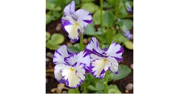 Viola cornuta Hornveilchen Rebecca Cawthorne