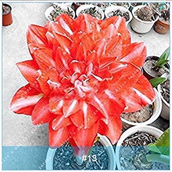 Galleria fotografica ZLKING 2 Pz Amaryllis Bonsai Bulbi Barbados Lily non Semi Balcone Fiore Hippeastrum lampadina idroponica Root in vaso piante da fiore 13