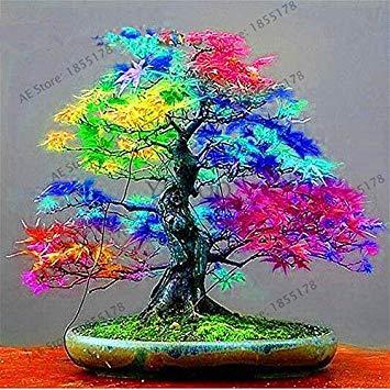 vonly Neue Frische Topfpflanze Garten japanischen Red Maple Bonsai-Baum Flores, 20 PC/Satz, sehr schön Indoor Baum: 11 - Red Maple