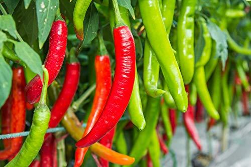PLAT FIRM GRAINES DE GERMINATION: Mini Pack de 20 Samen: Cowhorn Chili Pepper Samen non OGM 75 GrÌn zu Schöne Tage Rot ernten