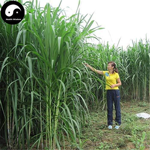 Shopmeeko Acquista Pennisetum Purpureum Semente 1000 Stück Pflanze für Gras und Kräuterrute -