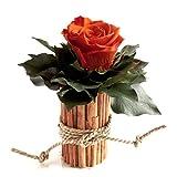 ROSEMARIE SCHULZ Heidelberg Blumengesteck mit Zimtbecher und 1 Rose konserviert haltbar 3 Jahre Rosengesteck/Blumengesteck / Bauernhaus/Blumen Dekoration (Orange)