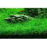 Wasserflora XL In-Vitro Bonsai-Nadelsimse / Eleocharis sp. 'mini'