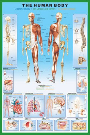 Poster Anatomie - 1art1 36800 Poster Le Corps Humain Anatomie