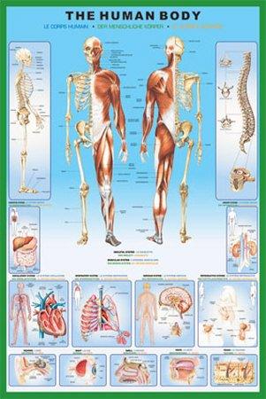 el-cuerpo-humano-anatomia-poster-91-x-61cm
