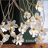 Importierte Glühbirnen, 2pcs/lot kleine Glühbirnen weiß Oxalis stenorrhyncha Samen schöne Blume Bonsai Pflanze DIY Hausgarten # O326