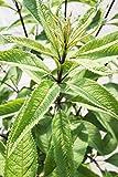 Großer Garten-Wasserdost im 20 Liter Topf, Heilpflanze purpur-rot blühend, Staude winterhart-mehrjährig, Beetpflanze sonnig bis halbschattig, Eupatorium fistulosum