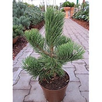 gestauchter bis pyramidaler Wuchs Pinus nigra Helga 30-40 Zwerg-Schwarz-Kiefer