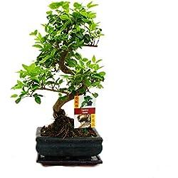 Liguster Bonsai 7 Jahre - 1 baum