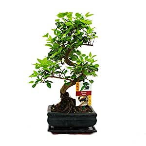 liguster bonsai 7 jahre 1 baum garten. Black Bedroom Furniture Sets. Home Design Ideas