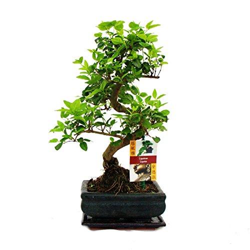 garten bonsai Liguster Bonsai 7 Jahre - 1 baum