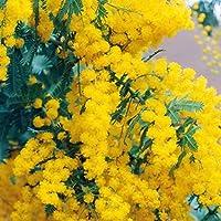 Keptei Samenhaus- Goldenkopf- Mimose Acacia baileyana Samen (Mimosa pudica) Zierblumen großartig spannend und interesant Sinnespflanze (20)