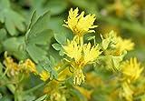 Kapuzinerkresse 'Kanarische Kresse' 5 Samen (Canary Creeper)