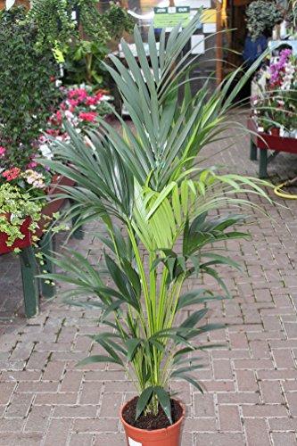 Künstliche Pflanze - 1,3 m hoch, künstliche Kentia-Palme mit Topf - Künstliche Howera-Palme
