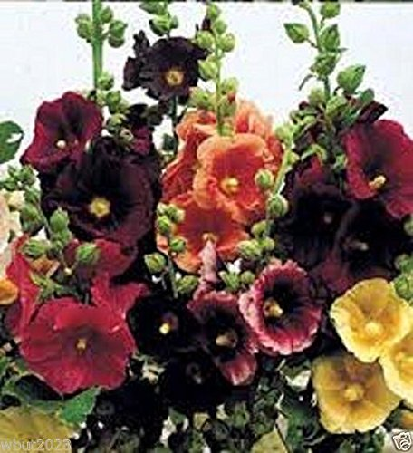 Malve-pflanze (25Happy Lights malve Mix Samen, Weiß, Gelb, Rot, Lila und Rosa. single-flower)