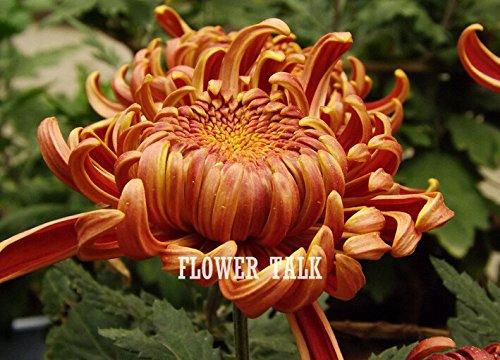 100pcs 5 Farben Hairawn Muhly Grassamen oder Golf Muhly Pampas Gras, vergossen Bonsai Seltene Gartenpflanze für Heimtextilien