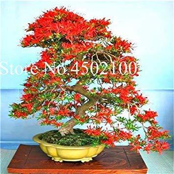 VISA STORE 100 Stück Exotische AZEA Bonsai, Misch Rhododendron AZEA, AZEA Bonsai Samen DIY Seedssseed für Hausgarten: 16
