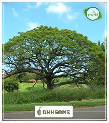 Pinkdose Baumsamen: Calliandra Saman - Schattenbaum für einen Garten HomPinkdose Pack-Seed