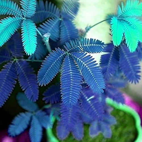 Kisshes Giardino - Semi di mimosa reale (Mimosa pudica) Semi sensibili di piante da appartamento Pianta sensibile - Non toccarmi