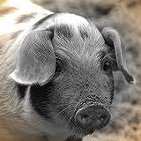 Artland Qualitätsbilder I Poster Kunstdruck Bilder 50 x 50 cm Tiere Haustiere Schwein Foto Schwarz Weiß C7BF Ferkel Kontakt