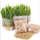 Wingbind Graines d'herbe de blé de Chat Biologique Naturel pour cultiver, Plante d'herbe à Chat pour Chat Chaton 1200pcs