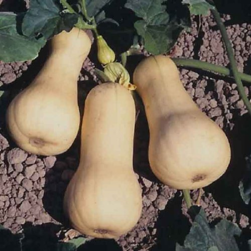 Seekay Hiver Courge Waltham Butternut 80 Graines