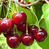 Cerisier Bigarreau 'Géant d'Hedelfingen' - Prunus cerasus rouge tardif