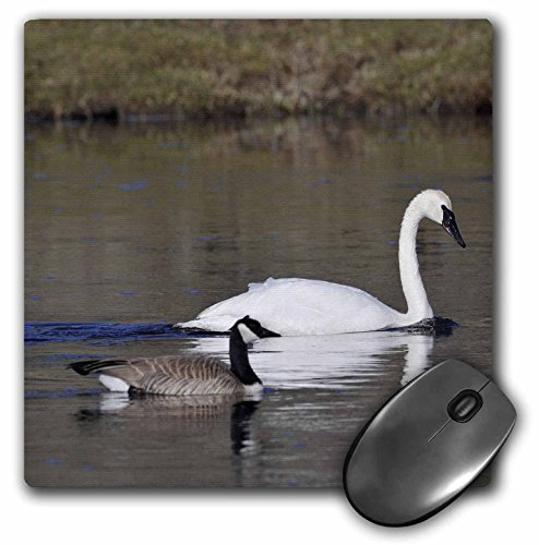 danita-delimont-birds-usa-wyoming-trumpeter-swan-goose-birds-us51-gre0072-gerry-reynolds-mousepad-mp