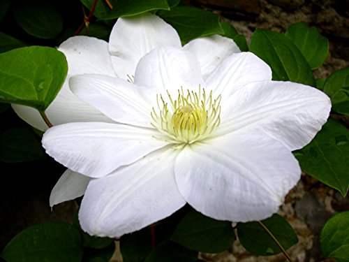 Clematis 'Madame le Coultre' - Schöne Kletterpflanze von Native Plants