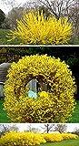 AGROBITS Rare !!! Semi Forsythia suspensa Piangendo forsizia giallo e dorato 30 semi