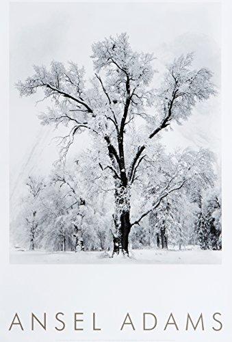 Oak Tree, Snowstorm, Yosemite National Park, Cailfornia 1948 by Ansel Adams Publishing Rights Trust (Oak Poster)